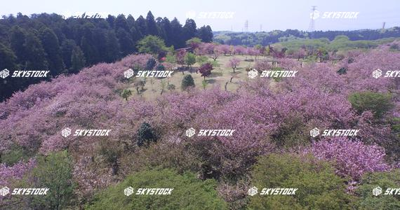 八重桜14
