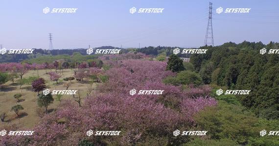 八重桜15