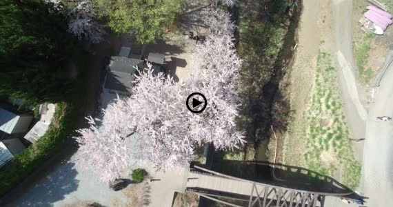 河口湖桜3-1
