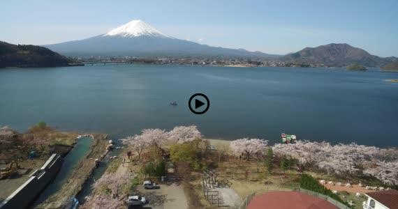 河口湖桜6-1